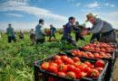 انتاج الطماطم المعلبة: تونس تحتل المرتبة الاولى افريقيا وعربيا والتاسعة عالميا